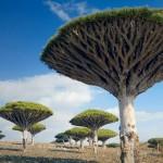 dragonnier_Socotra